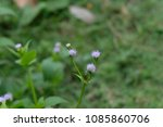 goat weed is a herbaceous plant ... | Shutterstock . vector #1085860706