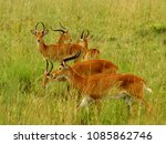 Small photo of Multiple Kob Antelope grazing in the Ugandan countryside.