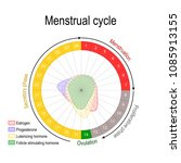 menstrual cycle and hormone... | Shutterstock .eps vector #1085913155