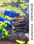 planting strawberries in the... | Shutterstock . vector #1085928638