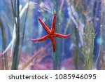red starfish in the deep sea | Shutterstock . vector #1085946095