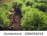 close up of lentil plant in a... | Shutterstock . vector #1086056018