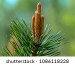 pine branch with cone embryo | Shutterstock . vector #1086118328