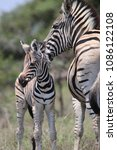 Stock photo mom and baby zebra 1086122108