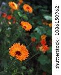 orange flower of calendula...   Shutterstock . vector #1086150962
