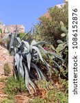 Small photo of Landscape design. Big Agave (Agave tequilana) grows on rocks in the garden