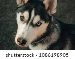 husky with one blue and one... | Shutterstock . vector #1086198905