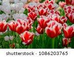 full bloom tulips in holland | Shutterstock . vector #1086203765