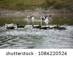 muscovy ducks and geese...   Shutterstock . vector #1086220526