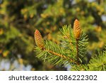 close up young green conifer... | Shutterstock . vector #1086222302
