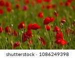 field with red poppies | Shutterstock . vector #1086249398