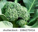 broccoli is growing  waiting to ...   Shutterstock . vector #1086270416