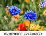 cornflower  centaurea cyanus ... | Shutterstock . vector #1086280835