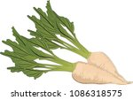 sugar beets isolated   vector... | Shutterstock .eps vector #1086318575