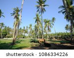 Small photo of Coconut palm trees farm on the blue sky with cow barn.