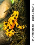 endangered Panama Golden Toad conservation project in zoo exhibit