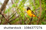 A male baltimore oriole on a...