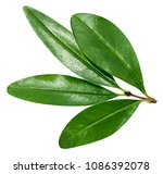 pomegranate leaf isolated on... | Shutterstock . vector #1086392078