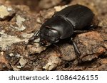 Lesser Stag Beetle On A Close...
