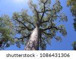 Beautiful baobab tree in Zombitse-Vohibasia National Park, Madagascar