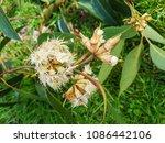 flowering branch of swamp...   Shutterstock . vector #1086442106