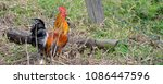 rooster cock  or dwarf cock ... | Shutterstock . vector #1086447596