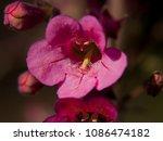 a perennial wildflower native...   Shutterstock . vector #1086474182
