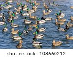 Flock Of Mallard Ducks And...