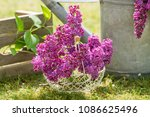 decoration with lilac   Shutterstock . vector #1086625496