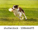 Stock photo a picture of a fast border collie running on the green grass 108666695
