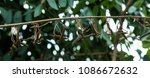 east indian scew tree is used... | Shutterstock . vector #1086672632
