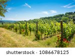 vineyard with roses | Shutterstock . vector #1086678125