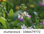 cleome flower plant in garden. | Shutterstock . vector #1086679772