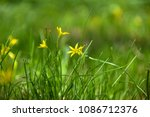 gagea flowers on meadow | Shutterstock . vector #1086712376