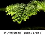 a very bright pine leaf on a... | Shutterstock . vector #1086817856