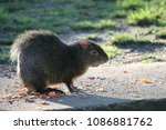 Small photo of azaras agouti (dasyprocta agouti) South American rodent found in Brazil , Paraguay anf Argentina