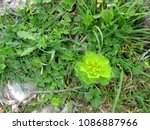 a spurge flower grows among other weeds along a path; Berat, Albania
