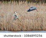 grey heron  ardea cinerea    | Shutterstock . vector #1086895256