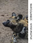 Small photo of African Hunting Dog At The Gate Artis Zoo Amsterdam The Netherlands 2018