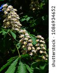 Small photo of Rich blossoming cluster of white flower on horse-chestnut tree Aesculus Hippocastanum during spring season
