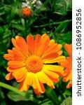 orange flower of calendula...   Shutterstock . vector #1086952856