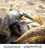 two young meerkats playing | Shutterstock . vector #1086959918