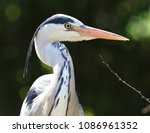 close up of a wild grey heron | Shutterstock . vector #1086961352