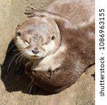 short clawed otters cuddling | Shutterstock . vector #1086963155