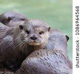 close up of a short clawed otter | Shutterstock . vector #1086964568