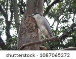 black crowned night heron ... | Shutterstock . vector #1087065272