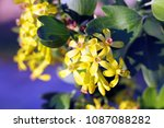the yellow blackcurrant flowers ... | Shutterstock . vector #1087088282