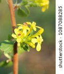 yellow blackcurrant flowers in... | Shutterstock . vector #1087088285