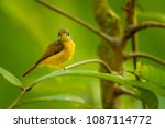 ruddy tailed flycatcher is a... | Shutterstock . vector #1087114772