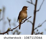 thrush nightingale  luscinia... | Shutterstock . vector #1087115066